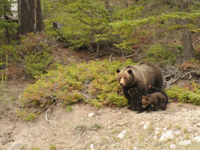 Bear 64 with her cubs in Banff National Park in June 2011.